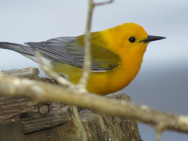 Prothonotary Warbler, photo by Mark Rositol. Patuxent River Park-Jackson Landing, April 24, 2016. Macaulay Library ML 27584131