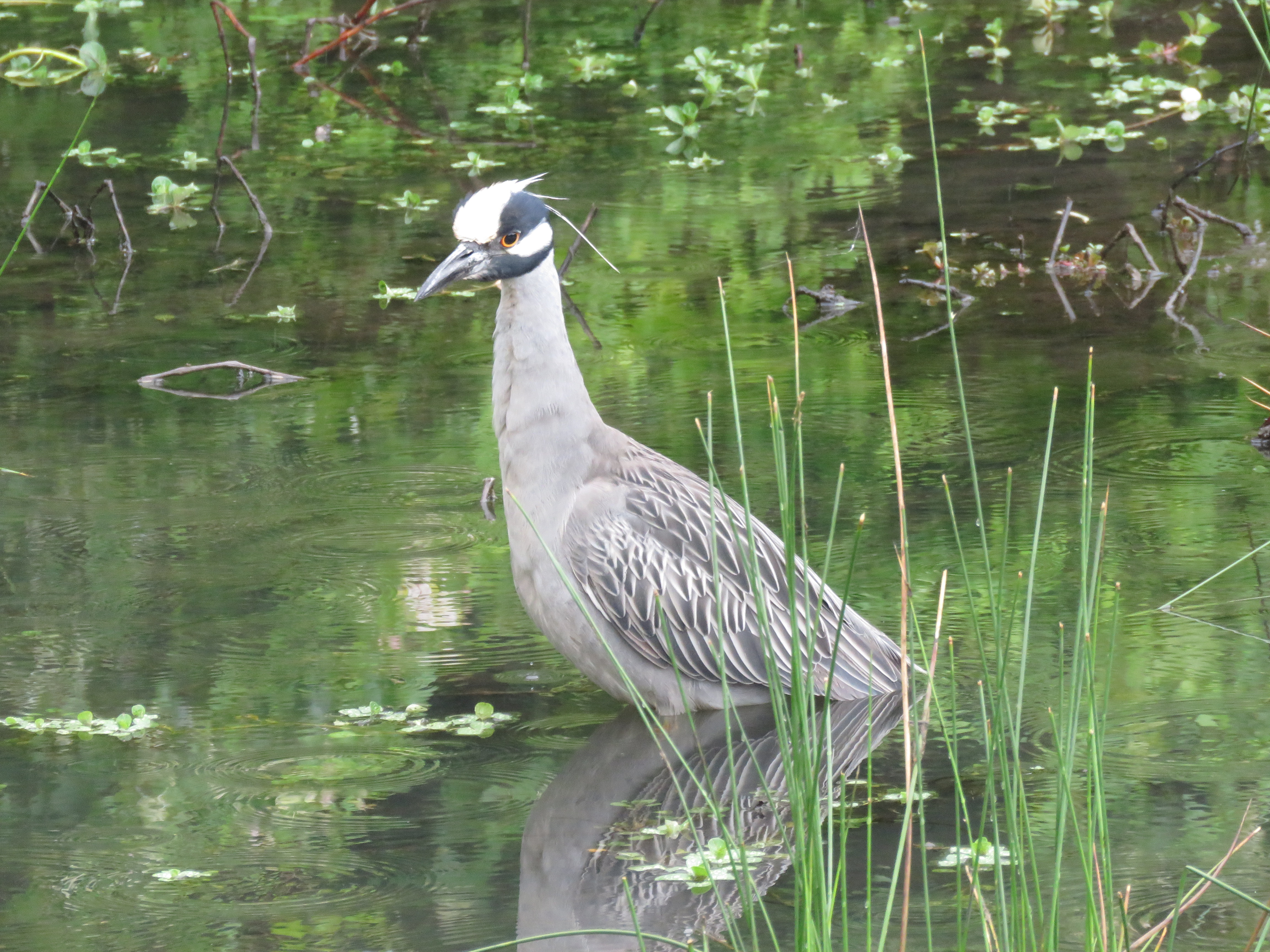 Yellow-crowned Night-Heron, photo by Fred Shaffer. University of Maryland Campus, May 1, 2016. Macaulay LIbrary ML27955371
